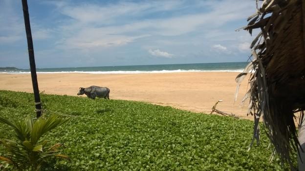 Cow. Beach.