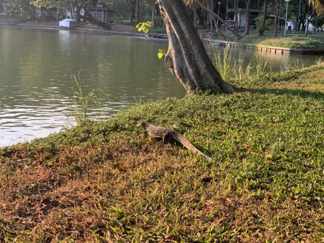 A monitor lizard hanging out in the park