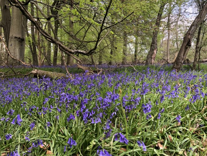 And never so many bluebells